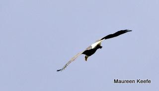 Tthe Bald Eagle scoping the nest.